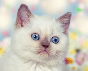 homemade-kitten-formula
